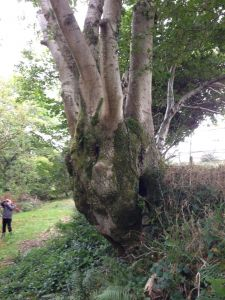 You don't see many examples of hazel coppice as big as this