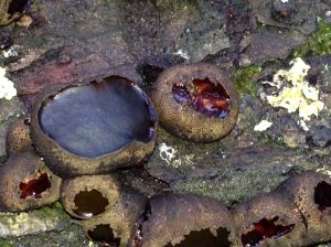 Batchelor's buttons or Black bulgar - Bulgaria inquinans